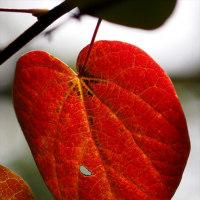紅マンサクの紅葉