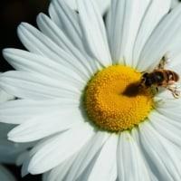 ミツバチとマーガレット