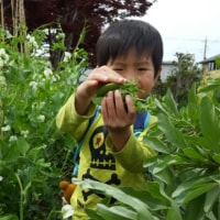娘の畑にスイカの苗を定植