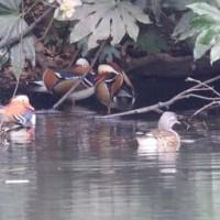 東京都新宿区内藤町にある新宿御苑の池では、オシドリを観察しました