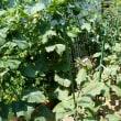 夏野菜収穫のとき