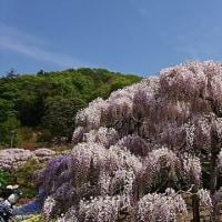 うす紅色の藤の花(あしかがフラワーパーク写真日記2)