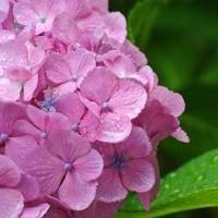 6月25日、午後4時過ぎ紫陽花を撮る