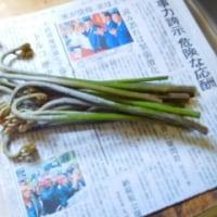 山菜の季節!