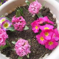 去年のヒヤシンスとジュリアンが今年も咲きました♪
