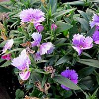 石竹(せきちく)という花