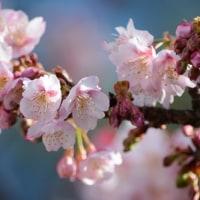 寒桜。。。。