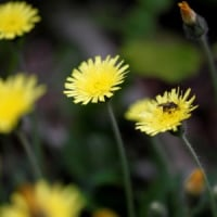 初夏の花8)タンポポ