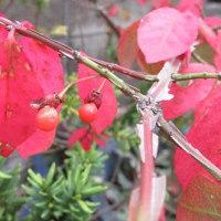 ニシキギ(錦木)の紅葉と種子