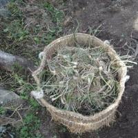 ラッキョウ収穫