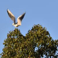 クスノキにやってくる鳥たち