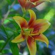 筥崎宮の花庭園からゆり(D810、マクロ105mm)
