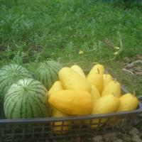 農園では西瓜、金賞メロンも大収穫!