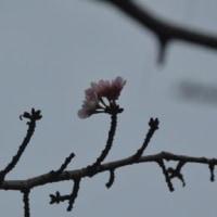八王子市立長池公園・オオヤマザクラ 10.26