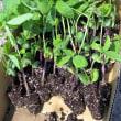 黒豆栽培 植え付け 土中緑化断根挿し木法 その後