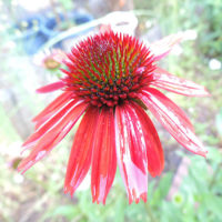 夏の花です。