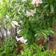 梅雨明けです。カサブランカがひっそりと咲きました。