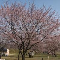 埼玉県坂戸市 北浅羽の安行寒桜 2017年3月20日