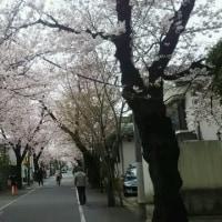 花シリーズ その5 近所の桜