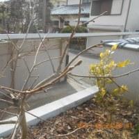 まだ葉が出ていない柿の木