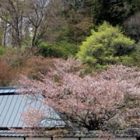 長野県北佐久郡立科町にある津金寺では、咲き始めたヤマブキソウに出会いました