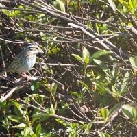 今日の鳥コレクション・・・キマユホオジロ