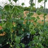 ツルインゲン収穫間近 トウモロコシ雌しべ ナス3本仕立て