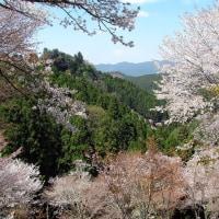 奈良よしのの桜