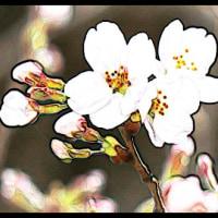 桜開花 東京一番乗り