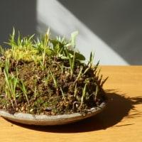 3月11日(土)草もの盆栽の例会