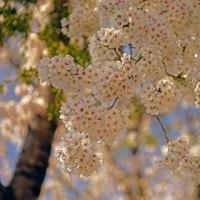 大川目小の桜満開!