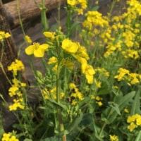 黄色が綺麗な菜の花