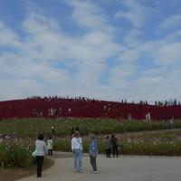 コキアの紅葉とコスモスとそばの花