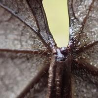 イイギリの落ち葉に残る蜜腺