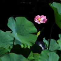 念願叶って、蓮の花を撮影しました!!。