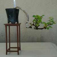 ケヤキのミニ盆栽