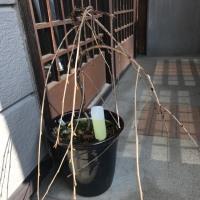 桜盆栽 2017-1