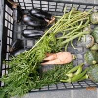 今日の収穫 たくさん採れました