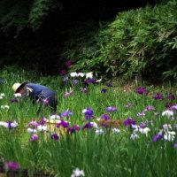 明治神宮御苑の花菖蒲を見に行ってきました。