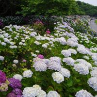 速報 高知の紫陽花の名所へ