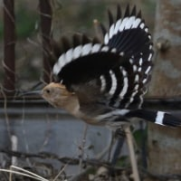 翼の模様がきれいだよ、飛ぶヤツガシラ。