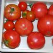 今日の収穫 トマト キュウリ ナス オクラ インゲン シシトウ