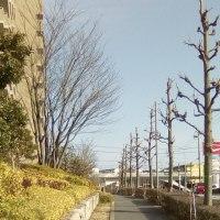 街路樹のアメリカフウ