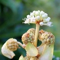 地味で美しいとはいえませんが「八っ手の花」、今咲いています。