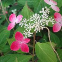 万博記念公園の紫陽花。