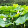 舞鶴公園 美しい「蓮の花」