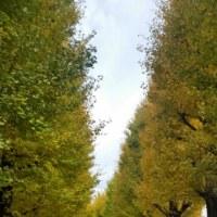 栄緑地(遊歩道)の銀杏の黄葉。交通事故、整体、産後骨盤調整なら「立川市のヒロ整骨院」