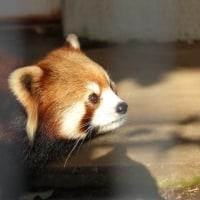 レッドパンダ@市川市動植物園(2017.1.3)