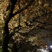 夜桜とミニ氷河期?