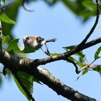 エナガ親と可愛い幼鳥の姿を・・・